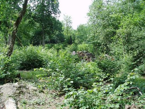 image of new hazel coppice growth